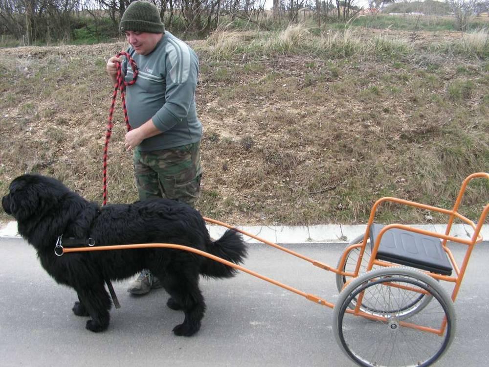 Newfoundland pulling cart