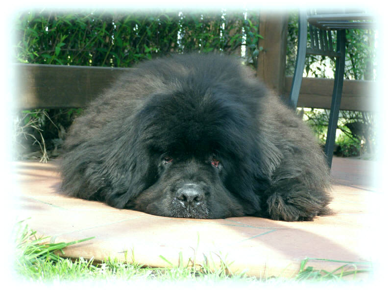 Newfoundland lying on concrete