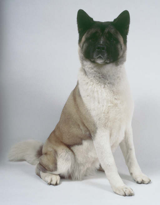 An Akita Posing for the Camera