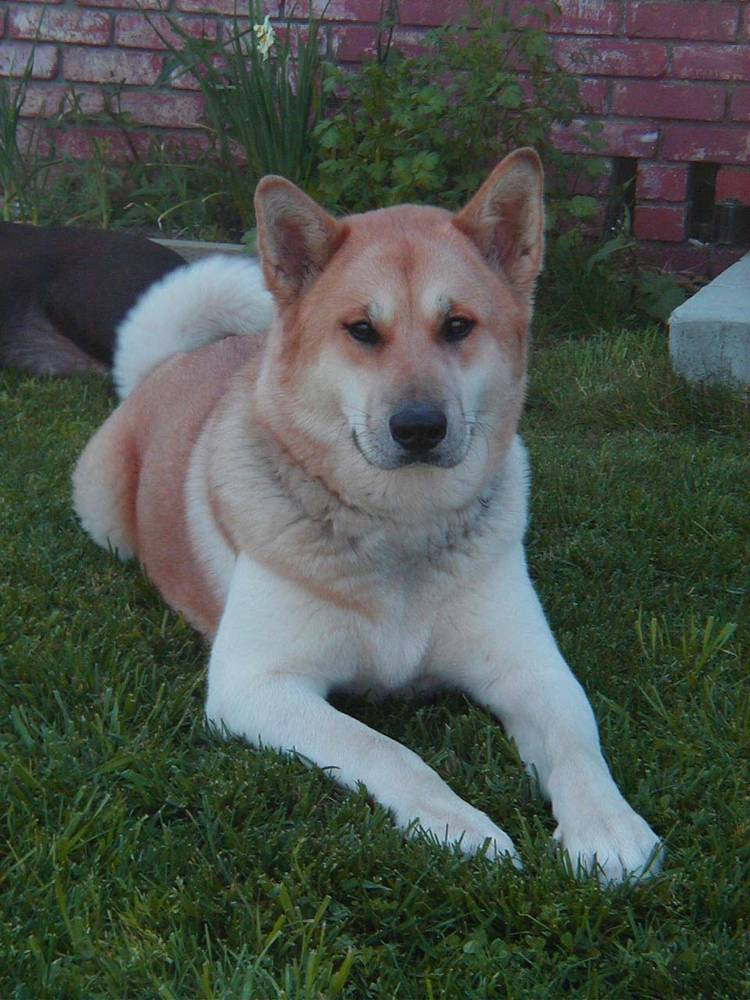 Picture of an Akita Laying on the Lawn