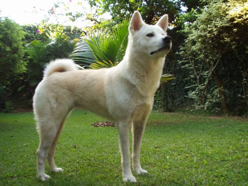 What a regal pose this Akita makes.