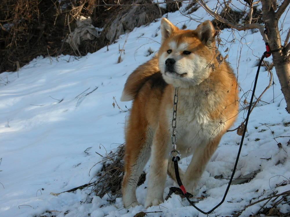 An Akita dog where it belongs-in the snow!