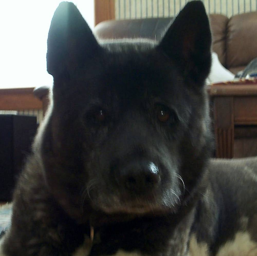 Black Akita Dog Staring at the Camera, Cute Expression
