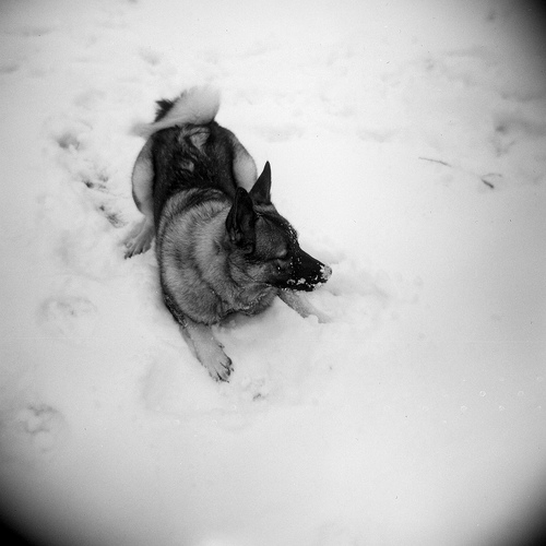 Norwegian Elkhound lying in snow