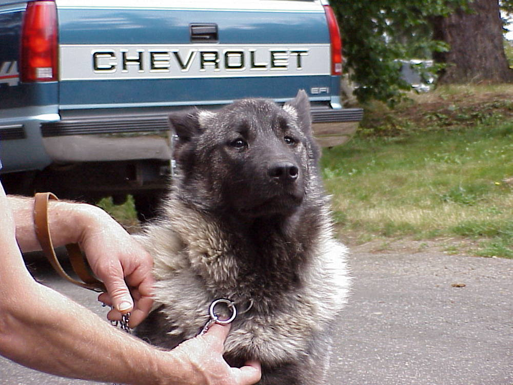 Norwegian Elkhound face