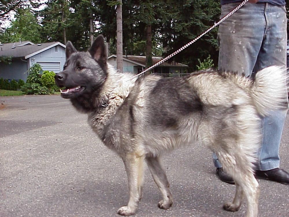 Norwegian Elkhound ready for walk