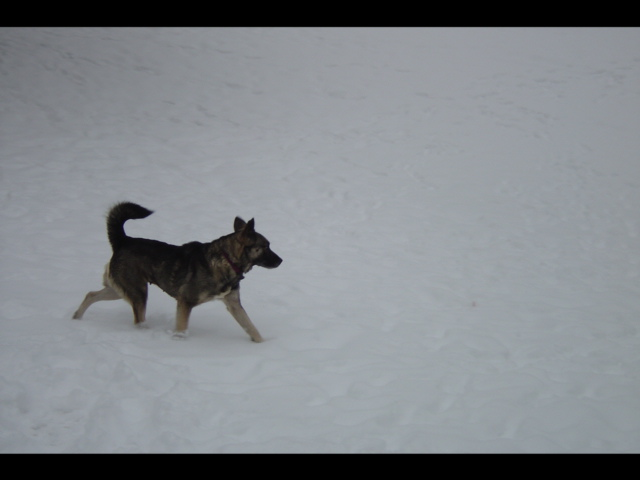 Norwegian Elkhound trotting through snow