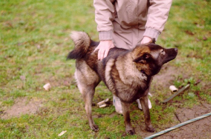 Norwegian Elkhound getting pet