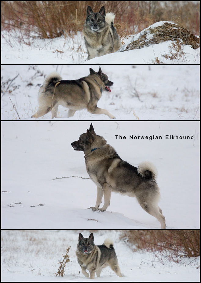 Norwegian Elkhound action picks