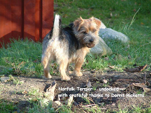 Norfolk Terrier looking back