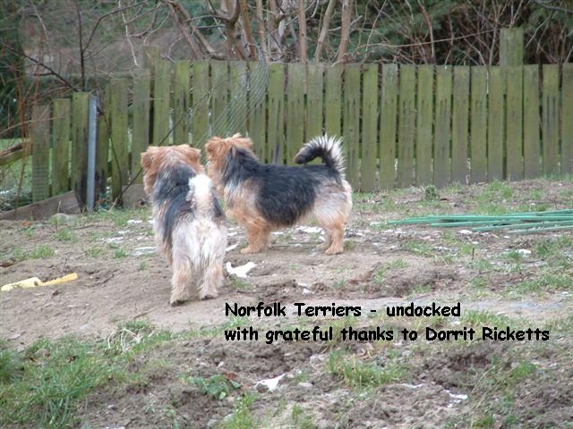 Norfolk Terrier's backsides