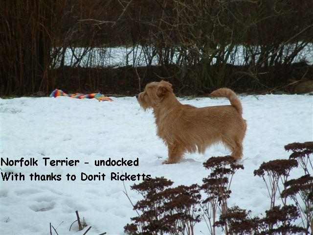 Norfolk Terrier in snow