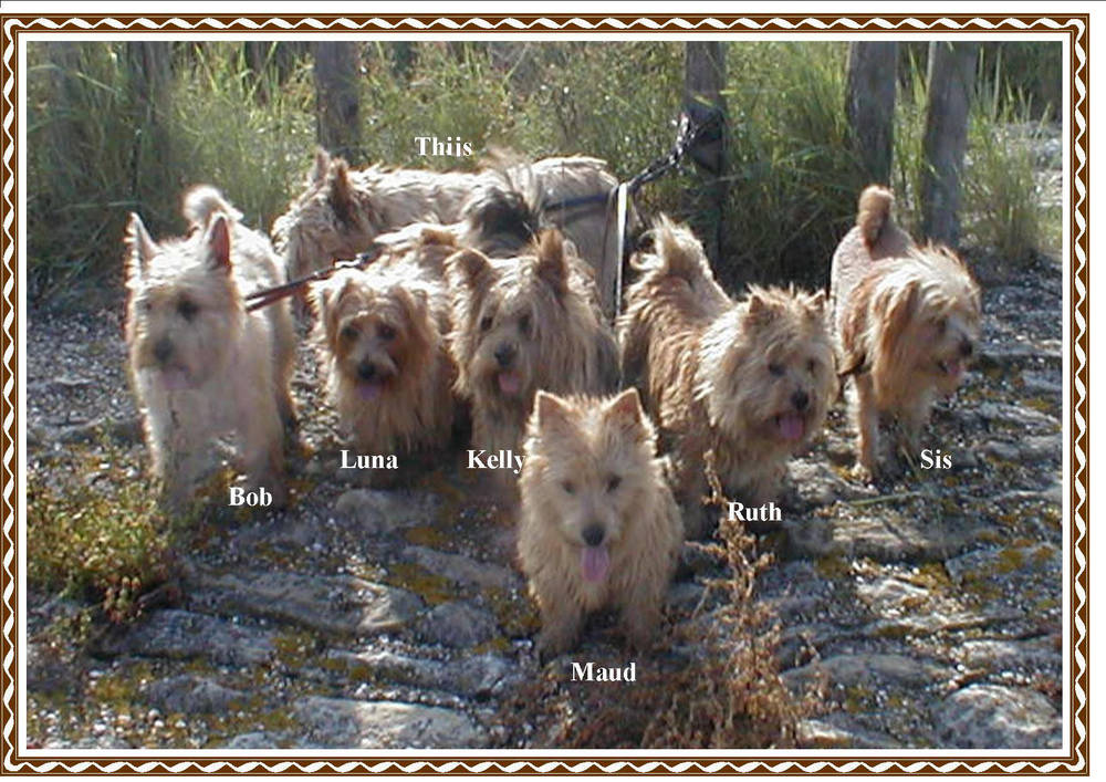 Norfolk Terrier's in a pack