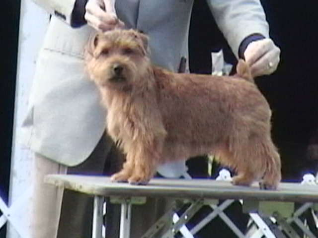 Norfolk Terrier being judged