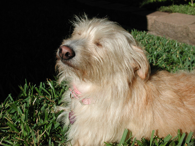 Norfolk Terrier with eyes closed