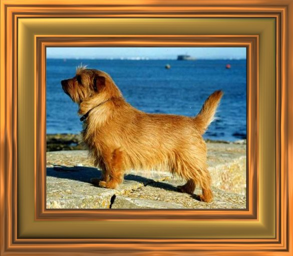Norfolk Terrier in a frame
