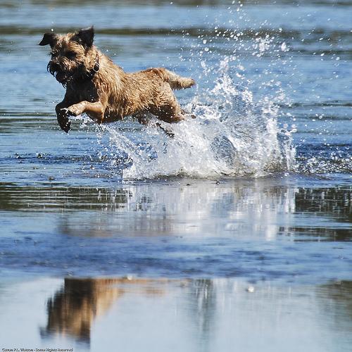 Border Terrier Pics