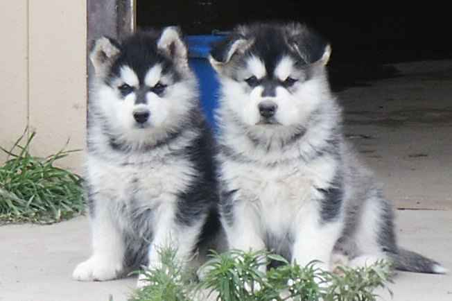 pair of 6 week old alaskan malamute puppies