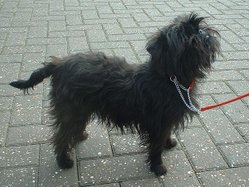 Affenpinscher on the street