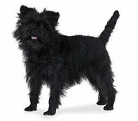Affenpinscher with open mouth (white background)