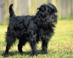 Affenpinscher on the grass