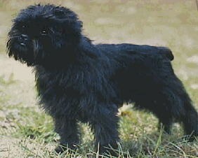 curious looking little affenpinscher