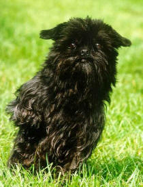 Affenpinscher running through bright green grass