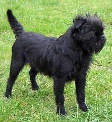 Affenpinscher standing on the grass