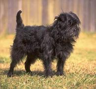 Affenpinscher on a beautiful background