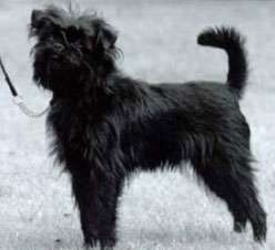 Affenpinscher with good posture