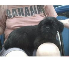cute little affenpinscher puppy