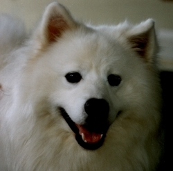 headshot of an American Eskimo Dog