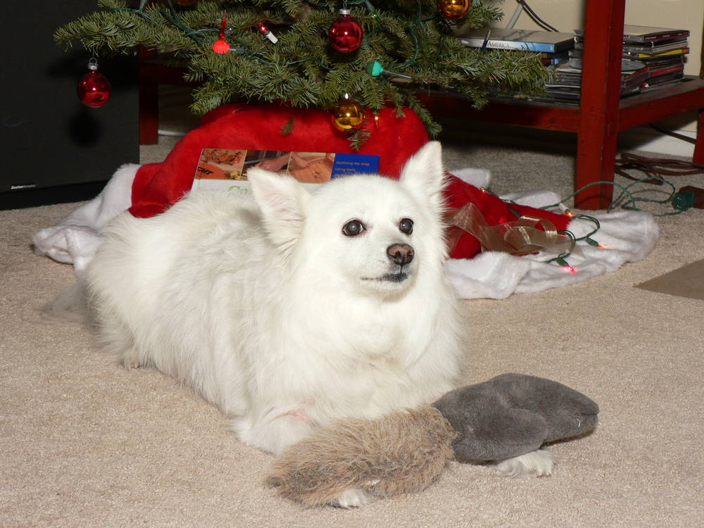 American Eskimo Dog at Christmas Time