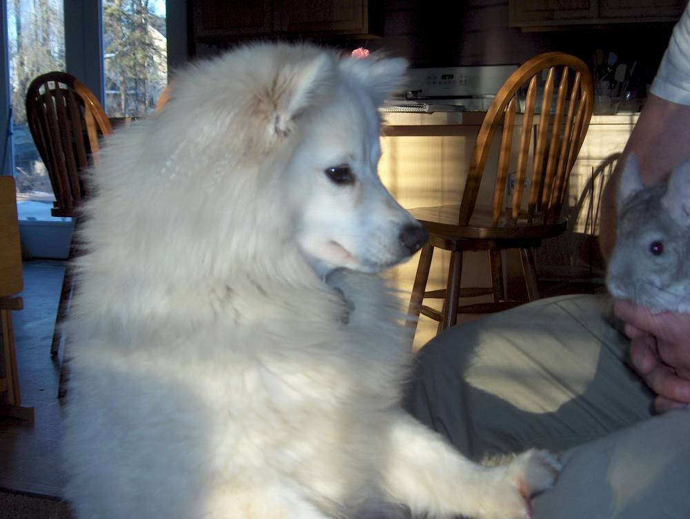 American Eskimo Dog Curious About Something