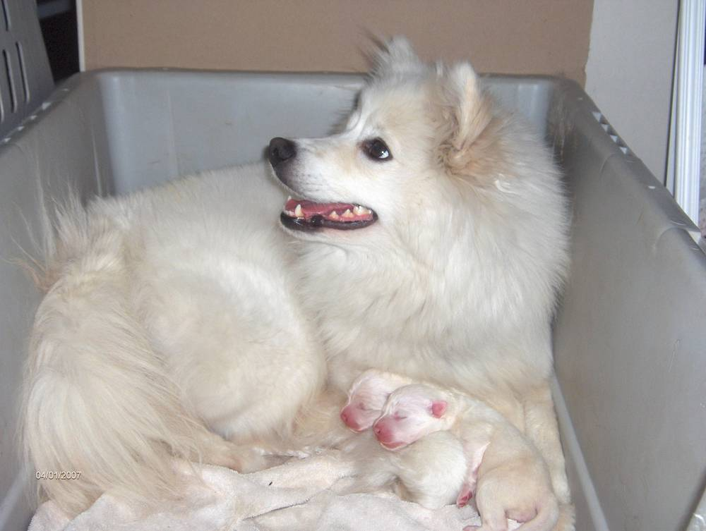 American Eskimo Dog Looks Like It's Having a Laugh