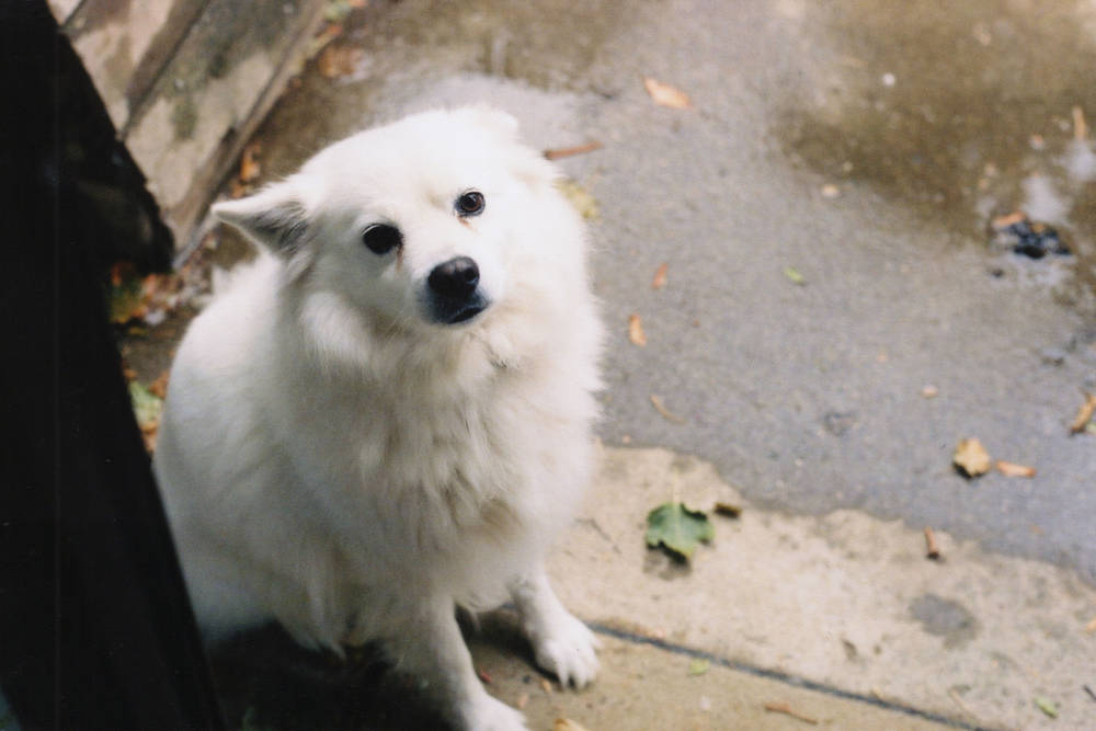 Super Cute American Eskimo Dog with Ears Back
