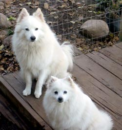 Two American Eskimo Dogs Sitting Patiently