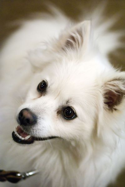 American Eskimo Dog Peering up With a Smile