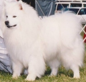 American Eskimo Dog at the Show