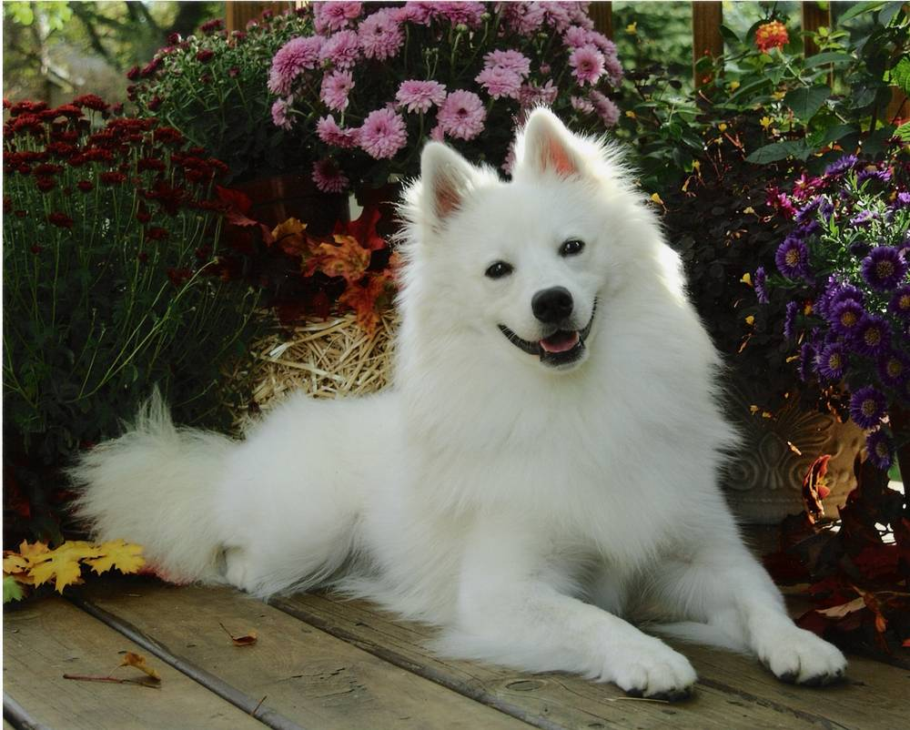 American Eskimo Dog Lookin' Very Good