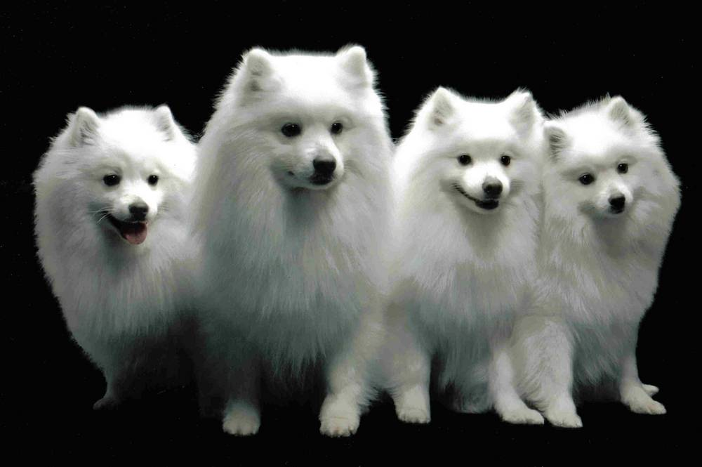 Cute Group of Four American Eskimo Dogs Hanging Out