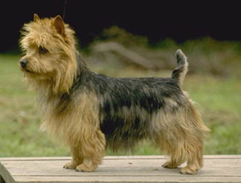 Australian Terrier Outdoors