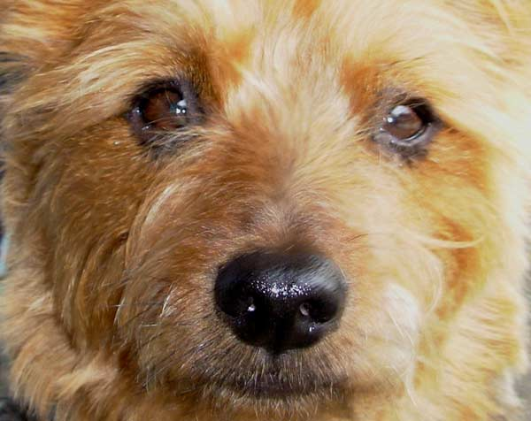 Australian Terrier Dog Closeup