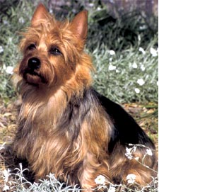 Australian Terrier Looking Right at Home