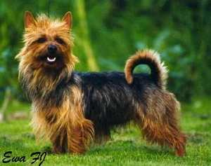 Australian Terrier with Green Background