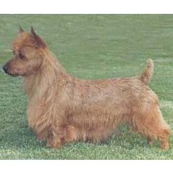 Australian Terrier Ready for Action
