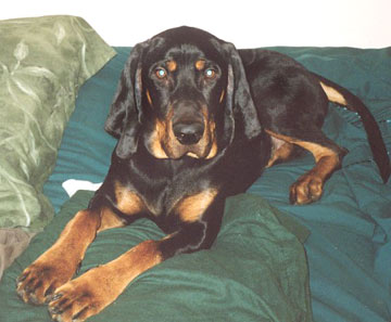 Black and Tan Coonhound photos