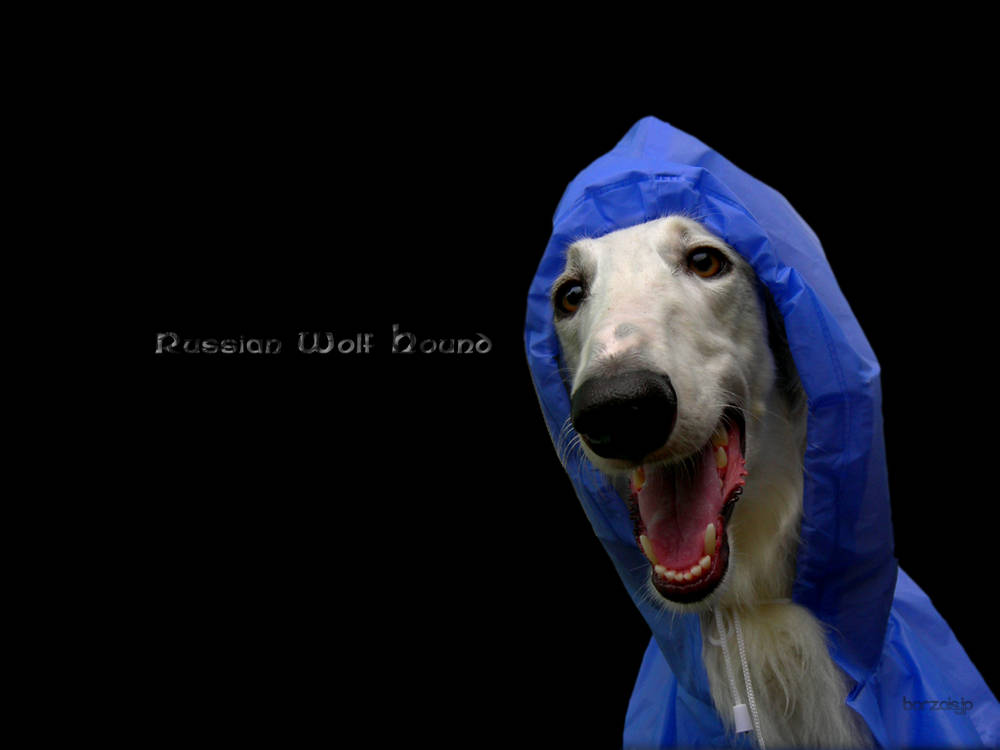 borzoi dog breed information puppies amp pictures