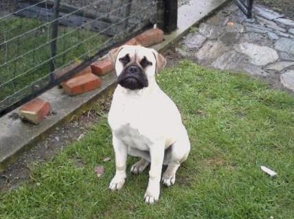 Bullmastiff Dog Breed Information, Puppies & Pictures