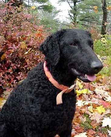 Curly Coated Retriever Pictures